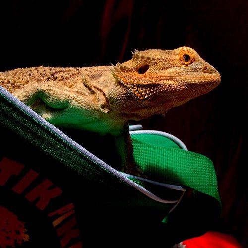Bearded Dragon on Kriobam Bag