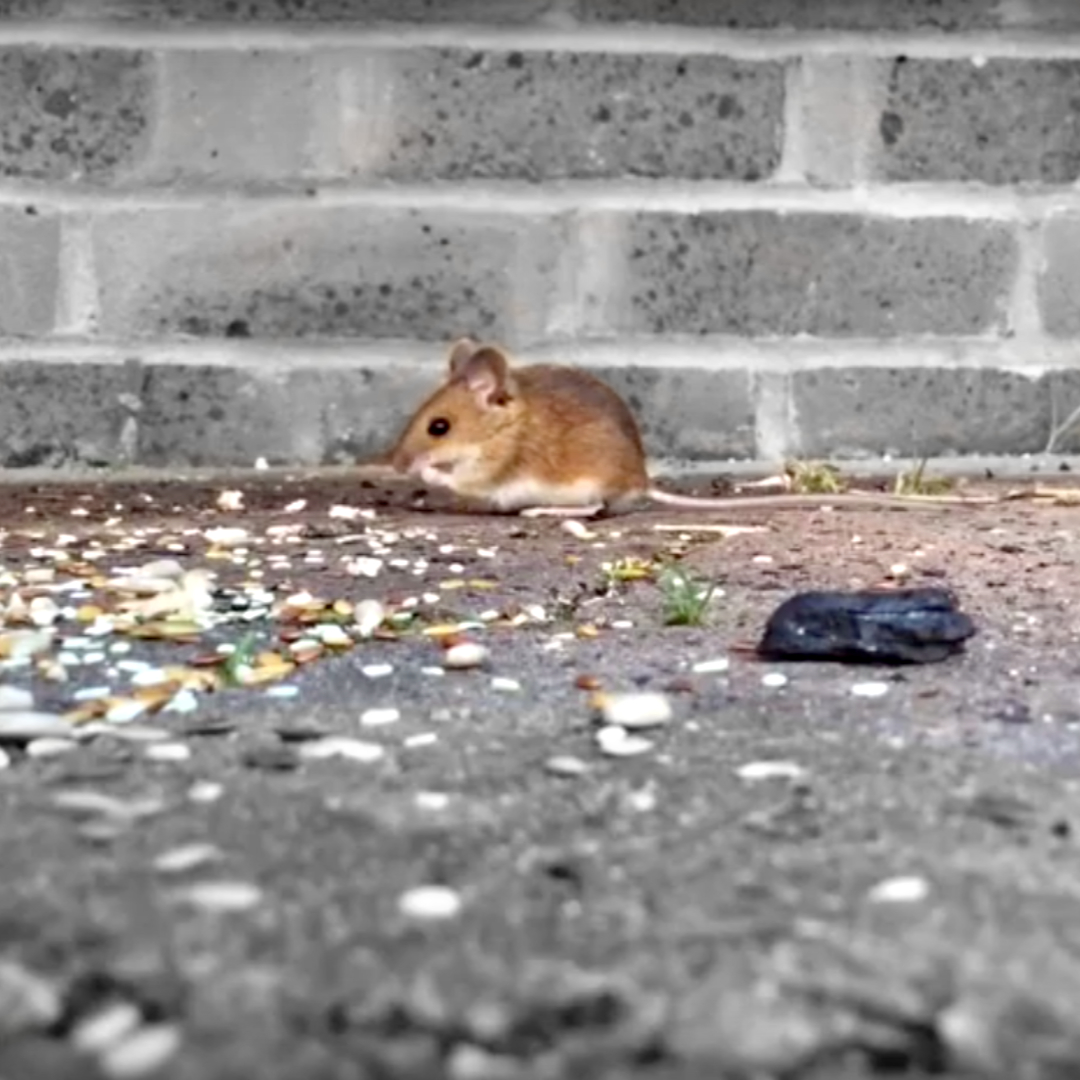 A little field mouse feasting on grain